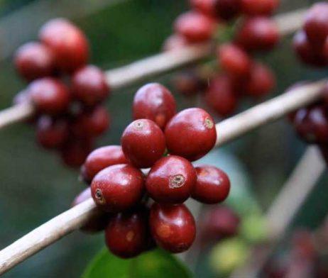 Dodd-Coffee-Costa-Rica-Tarrazu