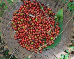 dodd-coffee-ethopia-fara-sala